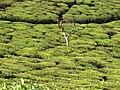 Tea plantation in India02.jpg