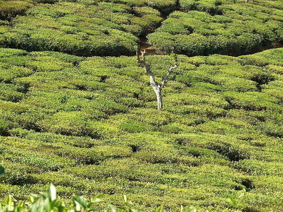 Tea plantation in India02