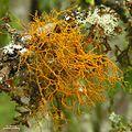 Teloschistes flavicans - Flickr - pellaea.jpg