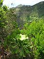 Teneriffa - Nordost - Wanderung durch den Lorbeerwald am Cruz de la Carmen - panoramio (1).jpg