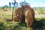 . This termite mound is about three meters in height and four meters across. The mound chimneys are about a meter in diameter and fuse together to form a rounded top.
