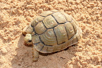 Cheloniology - A Negev tortoise (Testudo werneri), a critically endangered species of tortoise endemic to the Negev Desert of Southern Israel.