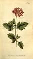 The Botanical Magazine, Plate 308 (Volume 9, 1795).png