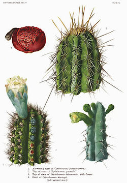 The Cactaceae Vol II, plate IV filtered.jpg
