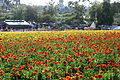 The Flower Fields at Carlsbad Ranch 80 2014-04-28.jpg
