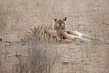 The Tiger Strikes.jpg