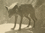 The fur animals of Louisiana (1931) Louisiana black wolf.png