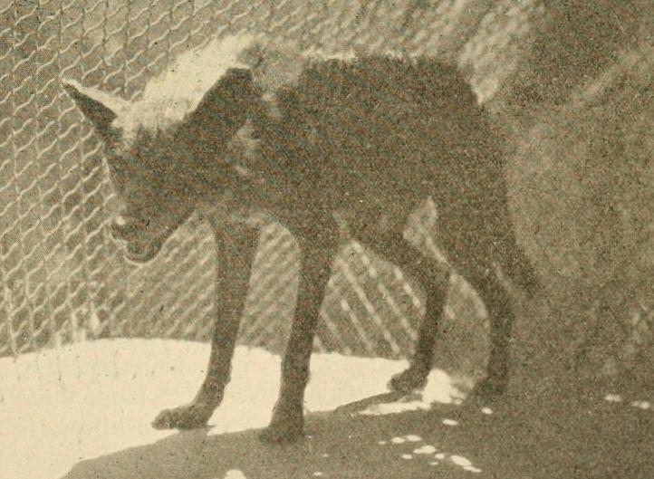 The fur animals of Louisiana (1931) Louisiana black wolf
