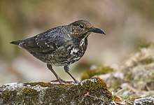 The long-billed thrush.jpg