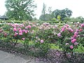 The rose garden at RHS Wisley - geograph.org.uk - 847184.jpg