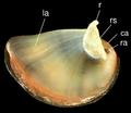 Theodoxus fluviatilis operculum 3.png