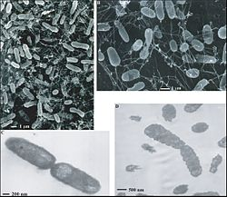 Thermophile bacteria.jpg
