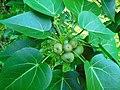 Thespesia populnea( Malvaceae ).jpg