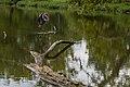 Three Creeks - Ardea herodias landing in Heron pond 1.jpg