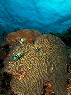 Three Thalassoma bifasciatum (blue-headed wrasse) swimming over a large Diploria strigosa (maze brain coral)