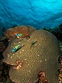 Three Thalassoma bifasciatum (blue-headed wrasse) swimming over a large Diploria strigosa (maze brain coral).jpg