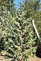 Thuja koraiensis - Quarryhill Botanical Garden - DSC03510.JPG