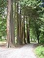 Thuja plicata, Woodstock, Inistioge, Co. Kilkenny - geograph.org.uk - 205290.jpg