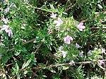 I fiori Thymus herba-barona