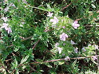 Thymus herba-barona.jpg