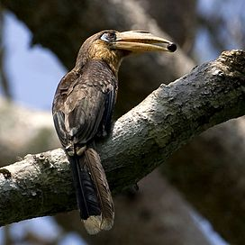Tickells Brown Hornbill (Anorrhinus tickelli) with food in beak.jpg