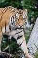 Tiger (16257656215).jpg