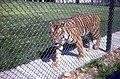 Tiger at Blackpool Zoo - geograph.org.uk - 527972.jpg