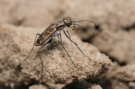 Most tiger beetles run on the ground living on sand and lake shores Tiger beetle Lophyra sp..jpg