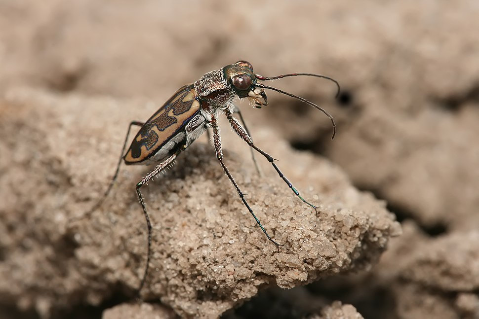 Tiger beetle Lophyra sp.