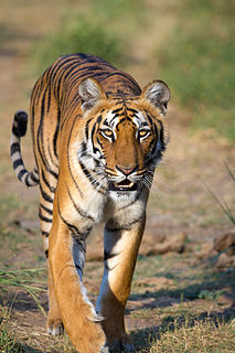 Mainland Asian tiger Subspecies of mammal