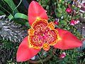 Tigridia pavonia, vista superior..jpg
