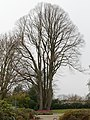 Tilia cordata winter.jpg