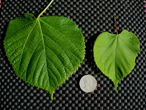 Tilia cordata - T. platyphyllos (left) and T. cordata leaf comparison
