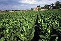 Tobacco field cuba1.jpg