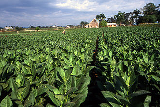 Caribbean - A field in Pinar del Rio planted with Cuban tobacco