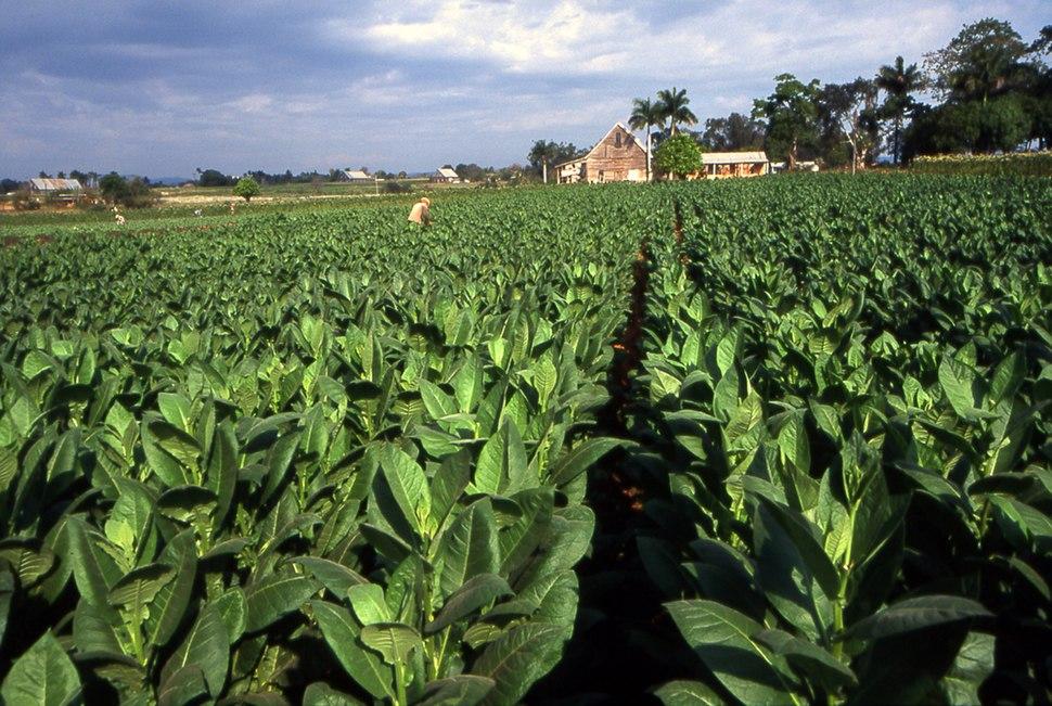 Tobacco field cuba1
