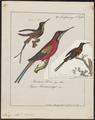 Topaza pella - 1700-1880 - Print - Iconographia Zoologica - Special Collections University of Amsterdam - UBA01 IZ19100239.tif