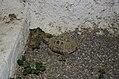 Tortoise in Sparta (1).jpg