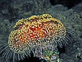 Toxic Leather Sea Urchin - Asthenosoma marisrubri.jpg