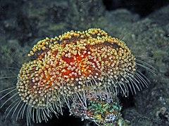 Toxic Leather Sea Urchin - Asthenosoma marisrubri.jpg