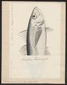 Trachurus trachurus - 1700-1880 - Print - Iconographia Zoologica - Special Collections University of Amsterdam - UBA01 IZ13500355.tif