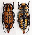 Tragocephala variegata (16469683006).jpg
