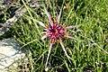 Tragopogon porrifolius kz4.jpg