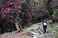 Trail leaving up into the rhododendron forest (4525879516).jpg