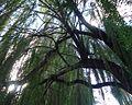 Tree in park in Cupertino.JPG