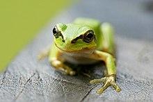 Tree toad.jpg