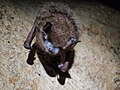 Tri-colored bat with visible signs of WNS (8467561947).jpg