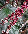Trichostigma peruvianum -比利時 Ghent University Botanical Garden, Belgium- (9204820897).jpg