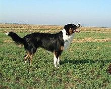 English Shepherd Wikipedia
