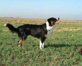 English Shepherd - Tricolor English Shepherd